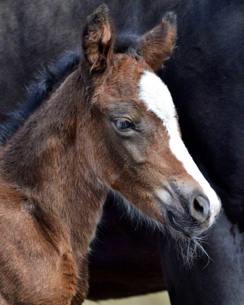 Hoppeføll født 19.04.2019